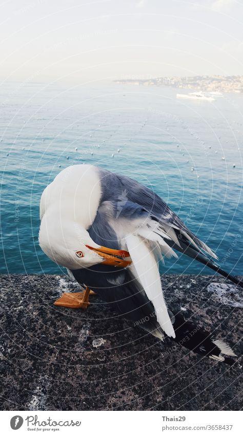 Seevogel Möwenlarus sitzt auf Stein und reinigt seine Flügel, vor hoher Seeansicht, blaues Wasser Tier Vogel MEER Hintergrund Nahaufnahme weiß vereinzelt