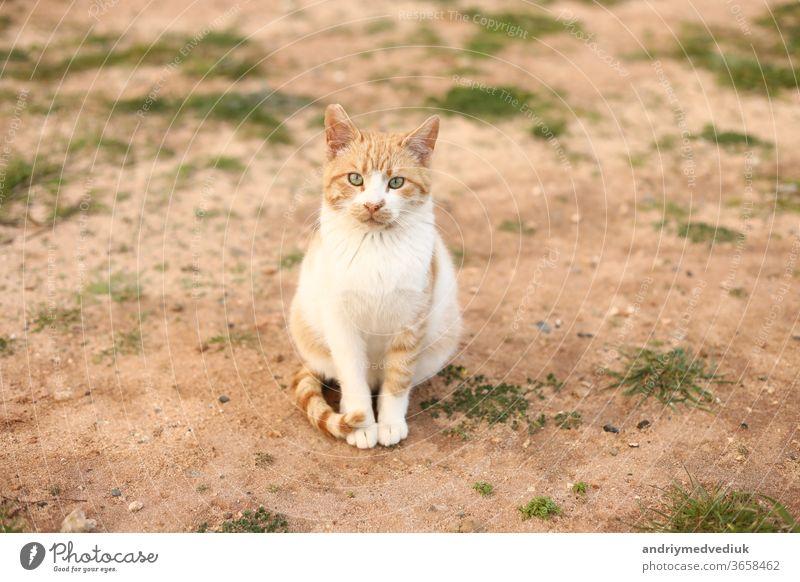 Portrait einer niedlichen rot-weißen Katze im Freien, die am Frühlingstag in die Kamera schaut. selektiver Fokus. Kopierraum. Haustier Natur Gras Tier jung Sand