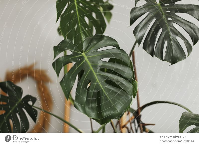 Großes grünes Blatt. Monstera-Blatt. Beliebte Wahl des Floristen mit exotischem Dschungelpflanzenblatt. grüne Blätter. selektiver Schwerpunkt. Pflanze