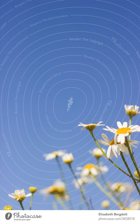 Kamillenblüten mit blauem Himmel im Hintergrund blauer Himmel Frühling Sommer Blumen Natur Heilpflanze Sonniger Tag