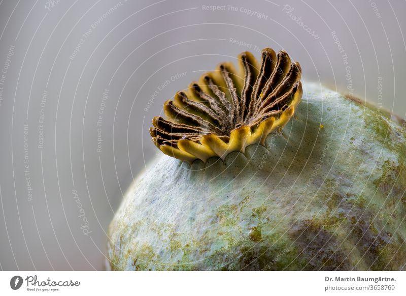 Mohnschote des orientalischen Mohns, Papaver orientale Staudenmohn Frucht reif Hülse Textfreiraum Papaveraceae