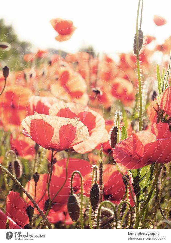 Mohnschein Sonnenlicht Pflanze Blume Klatschmohn Mohnblüte Mohnfeld Wiese Feld hell rot Außenaufnahme Sonnenstrahlen Gegenlicht