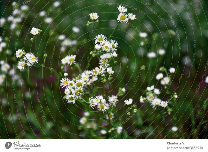 Zerrupfte Blümchen | Weiße Wiesenblumen mit gelbem Blütenstempel Blumen Wildblumen Sommerwiese Pflanze Natur Blumenwiese Außenaufnahme Farbfoto Blühend