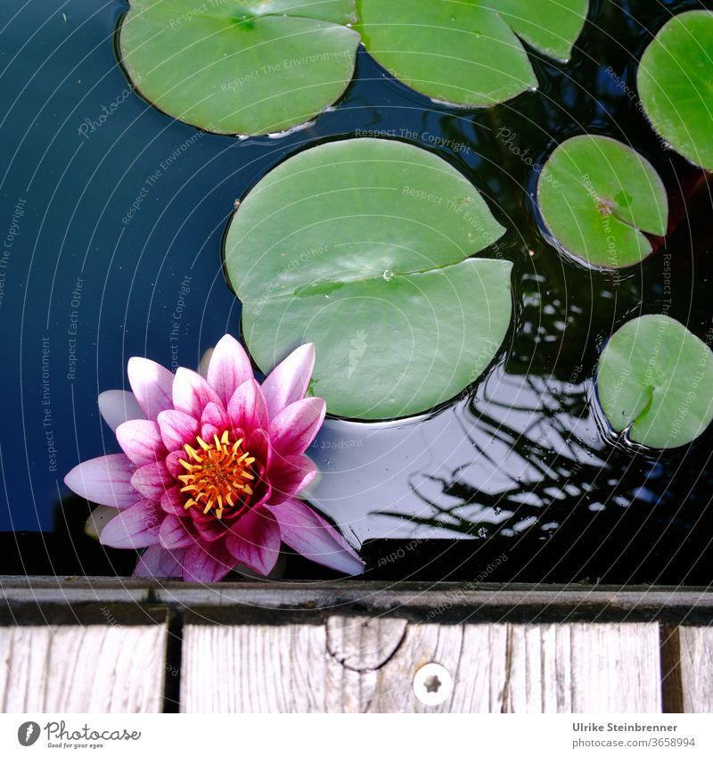 Schönheit einer Seerose am Rand des Wasserbeckens Rosa Blume Pflanze Nymphaea Wasserpflanze Blatt Seerosenblätter Gartenteich Teich Holzrand aufblühen Natur