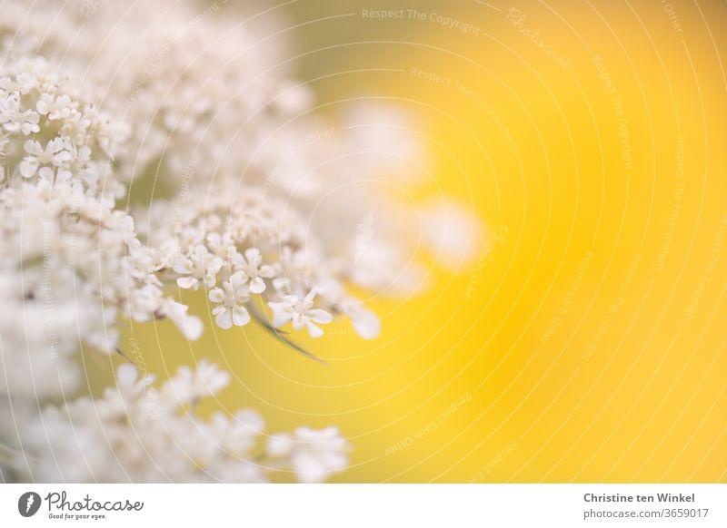 Nahaufnahme der Blüte einer Wilden Möhre vor leuchtend gelbem Hintergrund. Schwache Tiefenschärfe Wilde Möhre Blüten Blütendolde Doldenblütler weiß