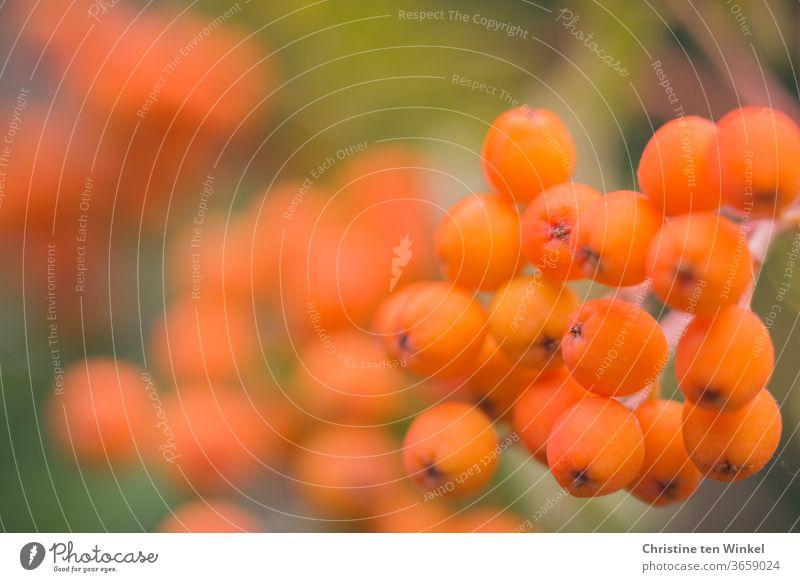 Orangefarbene Beeren der Eberesche. Nahaufnahme mit schwacher Tiefenschärfe Vogelbeeren orange Vogelbeerbaum Sommer Natur Naturliebe Frucht Herbst Baum Früchte
