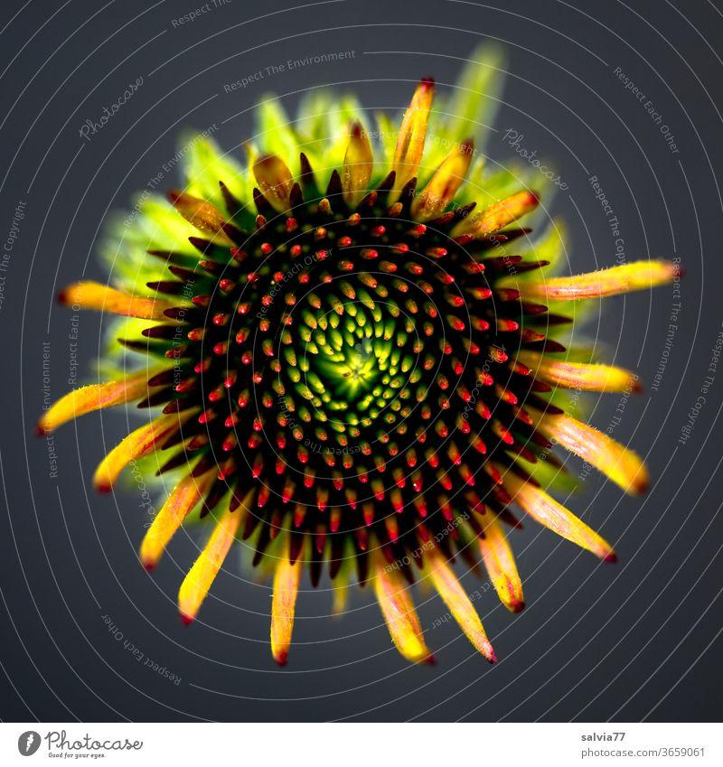 Symmetrie | Blütenknospe Roter Sonnenhut Echinacea Purpurea Blume Natur Pflanze Sommer Botanik Makroaufnahme Schwache Tiefenschärfe Garten Farbfoto
