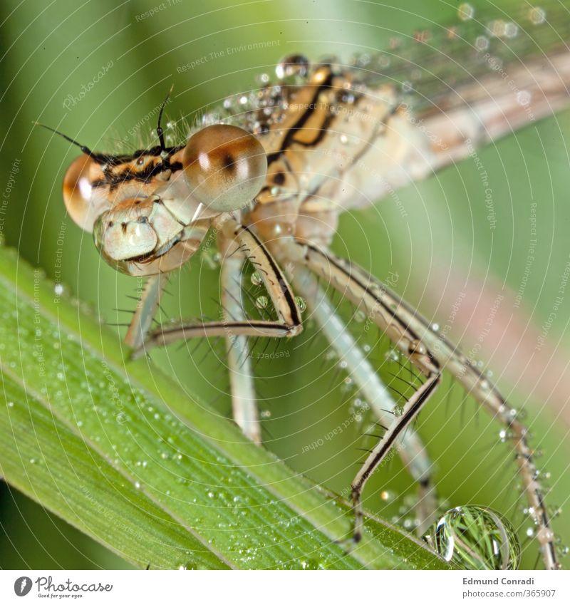 Morgentau Libelle Natur Wasser Tier Blatt Auge Wiese Gefühle Gras Frühling Kopf Beine Stimmung Wassertropfen Urelemente Instant-Messaging Seeufer