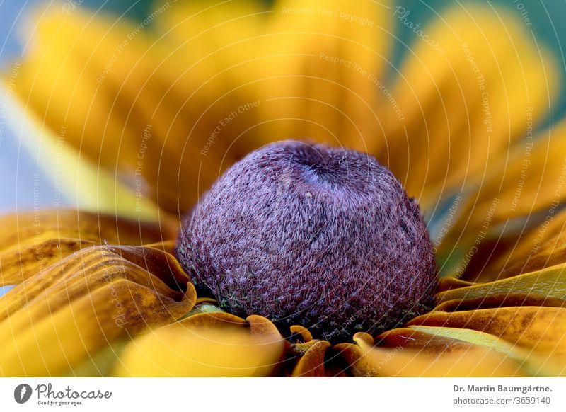 Rudbeckia-Hybride, Gartenblume aus der Familie der Sonnenblumen Sonnenhut Zwitter nordamerikanisch Asteraceae Verbundwerkstoffe schwarzäugig-susan Blume