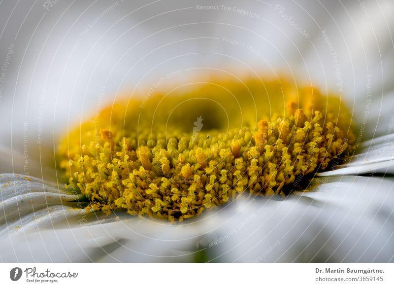 Leucanthemum-Hybride, Blütenkopf, Nahaufnahme Margerite leucanthemum Zwitter weiß ornamental Garten Pflanze gelb Asteraceae Verbundwerkstoffe