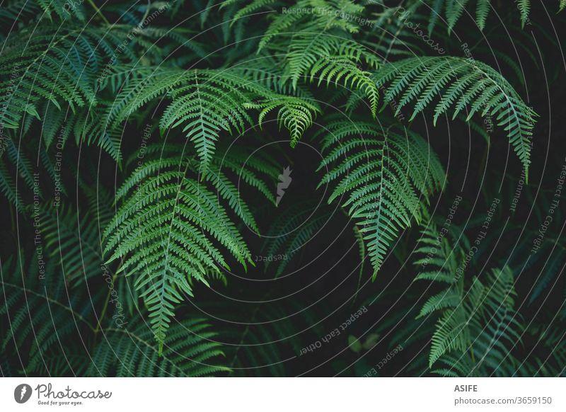 Farnblätter im Hintergrund Wurmfarn Blätter Natur Adlerfarn Vegetation Wald jung schön Frühling Botanik Sommer dunkel abstrakt Frische Grün frond Flora Park