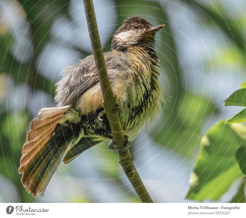 Junge Kohlmeise reckt und streckt sich Parus major Meisen Tierjunges Küken Tiergesicht klein Schnabel Auge Flügel Feder Ästling Vogel Wildtier Zweige u. Äste