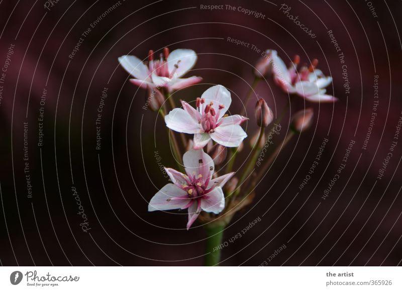 Blütentraum Natur Pflanze Blume rosa rot weiß Gedeckte Farben Außenaufnahme