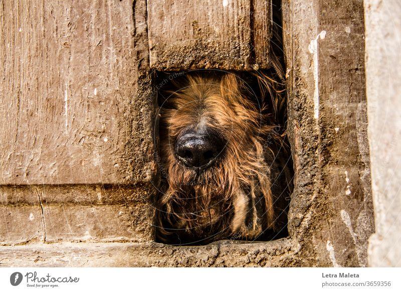 Versteckter brauner Hund hinter alter Tür Tier Außenaufnahme Tierporträt Haushund alte Tür braune Tür versteckter Hund verborgen