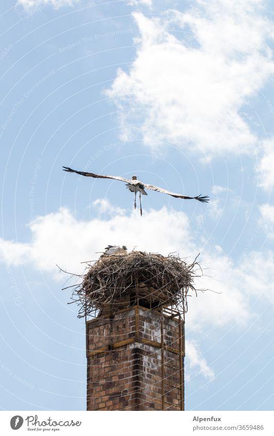 schräger Vogel Storch Horst Schornstein Außenaufnahme Nest Menschenleer Weißstorch Tierporträt Farbfoto fliegen fliegend Wildtier Natur Tag Textfreiraum oben