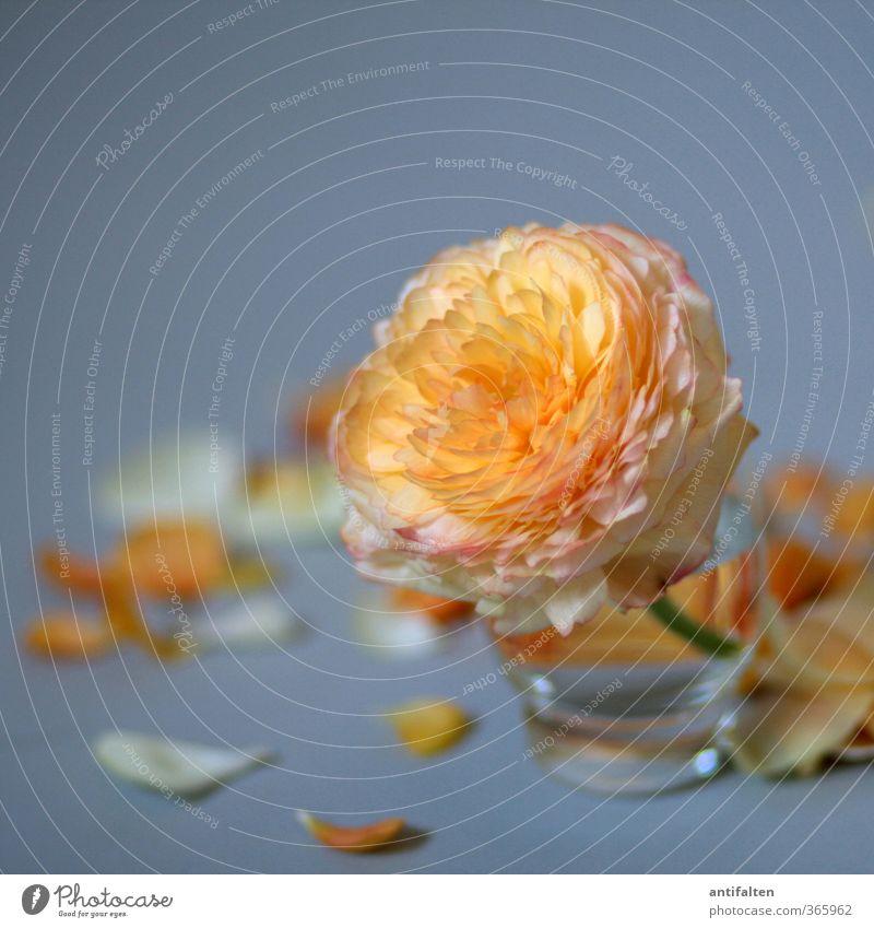 Vergänglichkeit Pflanze schön Sommer Wasser Blume Blatt Blüte Liebe grau orange Dekoration & Verzierung Glas Glas Geburtstag Blühend Vergänglichkeit