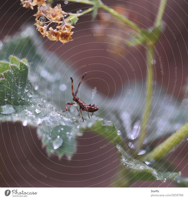 I am walking in the rain Stachelkäfer Käfer Blattkäfer krabbeln Insekt Tier brauner Stachelkäfer Tierporträt Garten Fühler klein winzig grün Pflanze Farbfoto