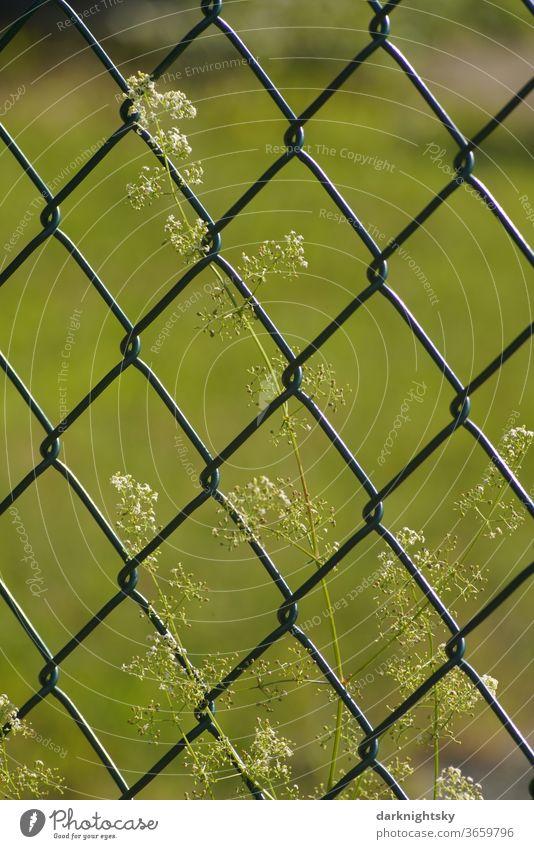 Maschendraht Zaun mit Blume Garten Grenze sommer Maschendrahtzaun Menschenleer Außenaufnahme Barriere Sicherheit Farbfoto Schutz Draht Drahtzaun Metall gefangen