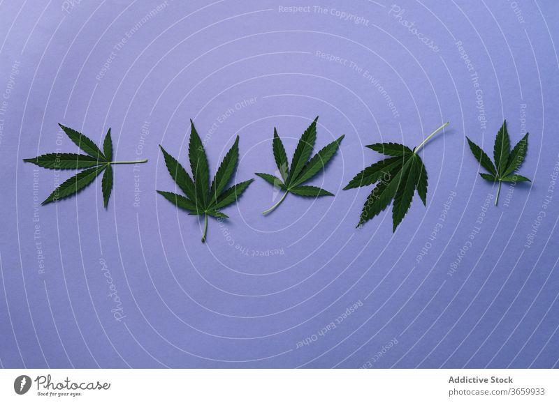 Marihuana-Blätter auf blauem Hintergrund Cannabis wachsend Natur wild Blatt Zusammensetzung Atelier Pflanze grün natürlich Kraut Hanf Buchse Gras frisch Medizin