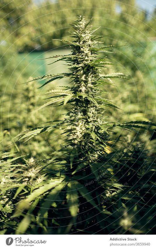 Wild wachsender Cannabis in der Natur Marihuana wild Blatt Pflanze grün natürlich Kraut Hanf Buchse Gras frisch Medizin Makro Botanik Wachstum Unkraut Sommer