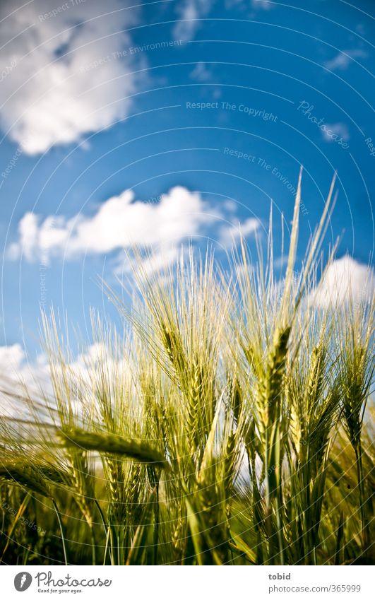 Getreide Sommer Umwelt Natur Himmel Wolken Schönes Wetter Pflanze Ähren Feld Wachstum Grüne Ähren Farbfoto Außenaufnahme Detailaufnahme Tag Licht Sonnenlicht