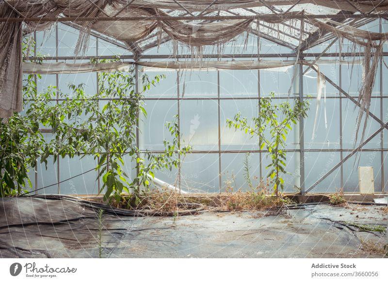 Verwittertes Inneres eines verlassenen Gewächshauses Glas Verlassen Innenbereich grün Gebäude schäbig Wachstum verwittert Botanik getrocknet Flora alt Grunge