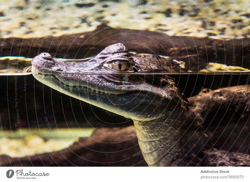 Alligator mit scharfen Zähnen schwimmt im Aquarium im Zoo Krokodil Wasser Raubtier heraussehen Fleischfresser Tier Kaltblütig stechend Reptil Windstille Kopf