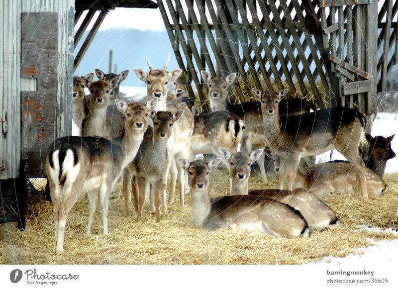 Bambi Verkehr mehrere Landwirtschaft Stroh Gehege Reh
