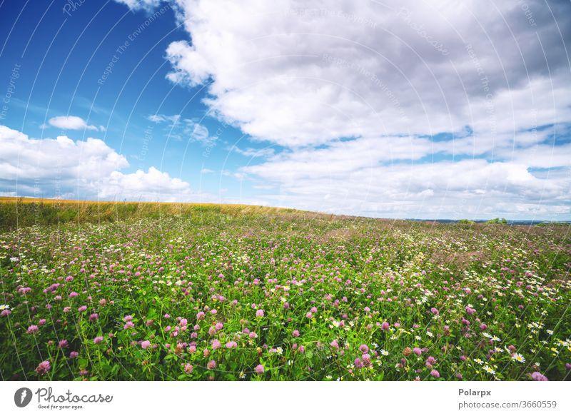 Kleefeld mit Wildblumen im Sommer Laubwerk ruhig Wachstum Szene Frische malerisch Farbe blau niemand purpur Blütezeit Tag Hintergrund rosa im Freien Land Umwelt