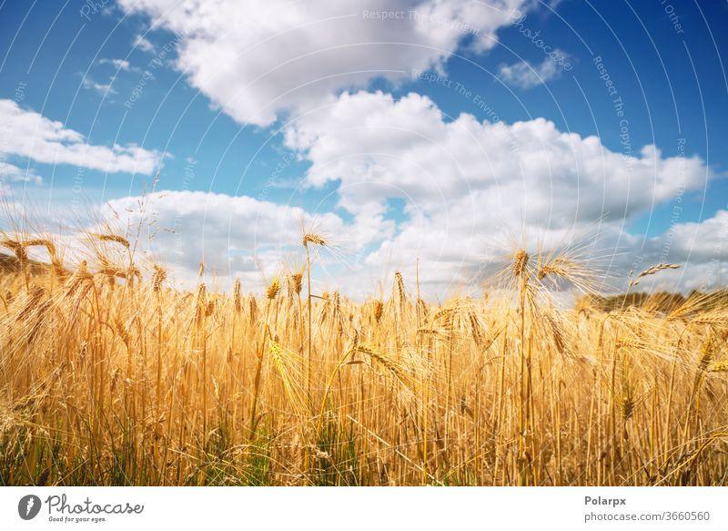 Goldenes Weizenkorn auf einem ländlichen Feld Landschaft kultivieren landwirtschaftlich natürlich trocknen Nahaufnahme schön Herbst Mais Sonnenuntergang