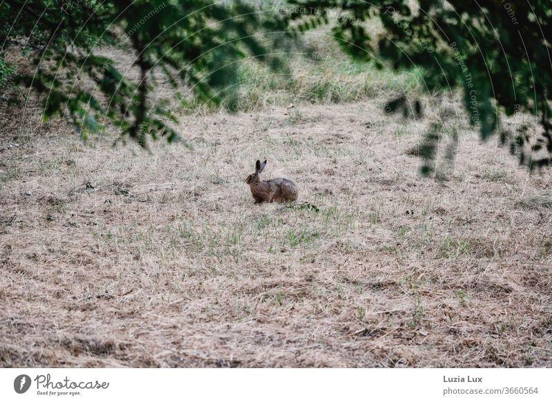 Ein einsamer Feldhase kurz vor der Flucht, zwischen grün und Dürre in sanftem Abendlicht Hase Ohren lange Ohren auf dem Sprung Tier Außenaufnahme