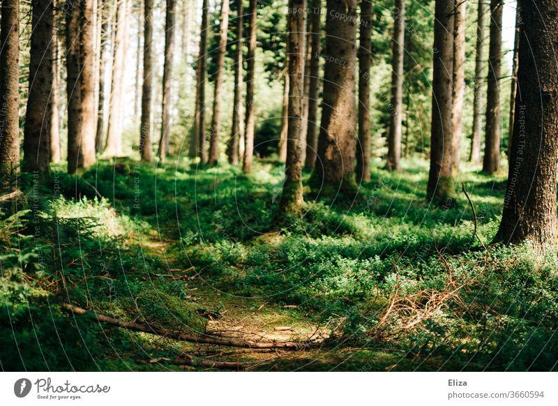 Ein Trampelpfad im Wald Pfad Weg Natur Wege & Pfade grün Baum Umwelt wandern Fußweg Pflanze Menschenleer ruhig Sonnenlicht Außenaufnahme Licht Sonnenstrahlen