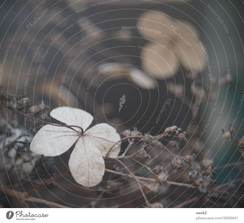 Trockenes Geblüt Umwelt Natur Pflanze zerbrechlich Zweig Zierpflanze Blüte Sträucher hängen dehydrieren dünn authentisch Traurigkeit viele natürlich nah klein