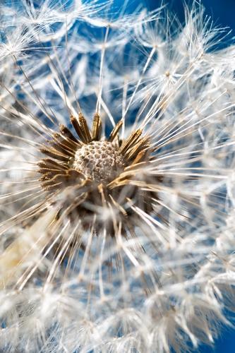 Makroaufnahme einer Pusteblume vor blauem Hintergrund Löwenzahn Blüte Sommer Frühling Garten weiß Leichtigkeit Löwenzahnsamen Himmel weich Natur Blume Wiese