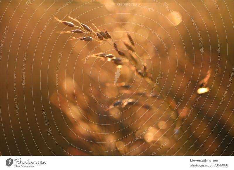goldig Natur Sommer Pflanze Sonne Erholung Wiese Wärme Gras natürlich Zufriedenheit Wachstum leuchten Warmherzigkeit einzigartig neu