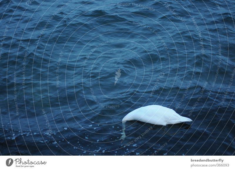 Wenn ich dich nicht sehen kann, siehst du mich auch nicht! Natur Wasser Tier Umwelt Wildtier Urelemente Flügel Schwan