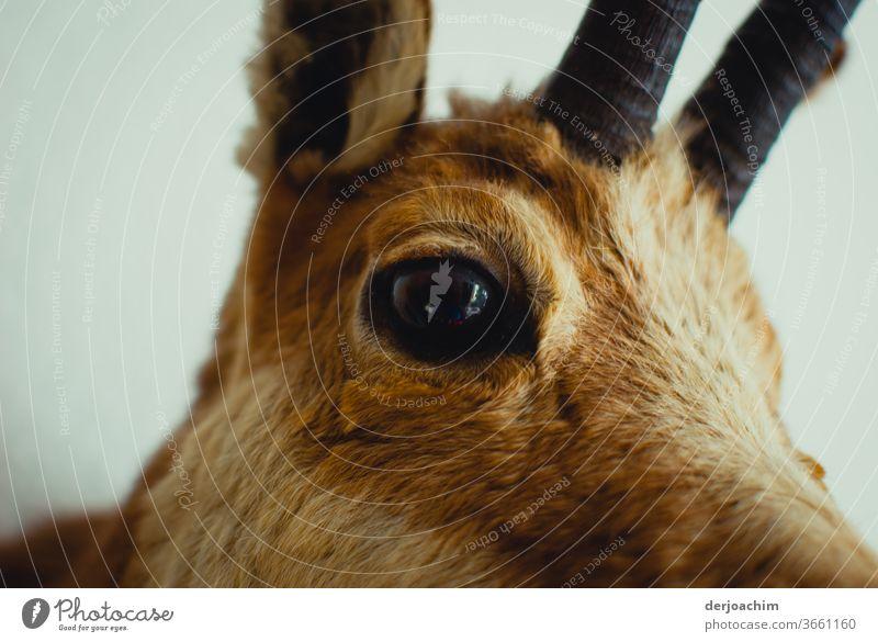 Das Reh. Auge um Auge, Ein Auge blickt den Betrachter an. Mit aufgestelltem Ohr und ein kleiner Teil der Geweihes . Eine Nahaufnahme. Stufe Natur Lebewesen