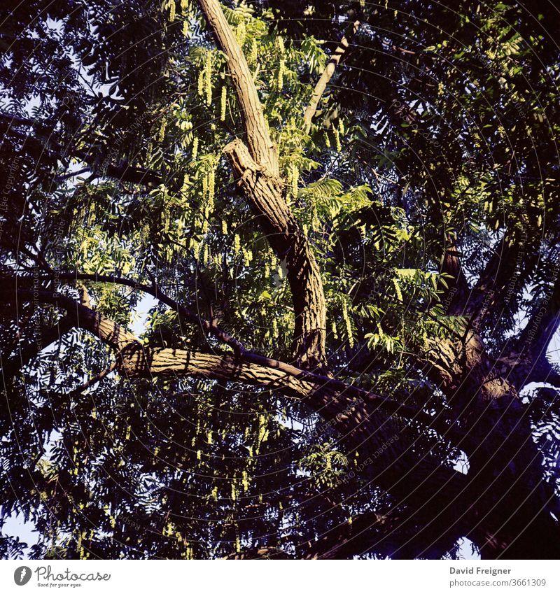 Alter großer Baum bei Sonnenuntergang. Analoge Mittelformat Film Aufnahme Ast Äste und Zweige alt uralt Licht Sonnenlicht Blätter analoge fotografie