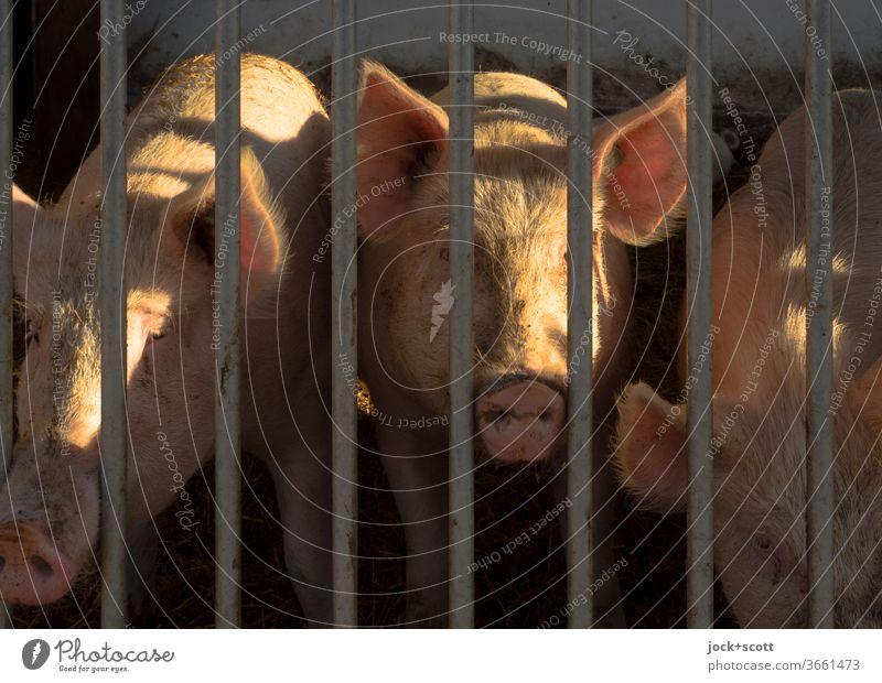 verschließen Sie nicht die Augen vor dieser Sauerei Hausschwein Tierporträt Nutztier Landwirtschaft rosa Gitter Stall Neugier Lichtschein 3 schweinezucht