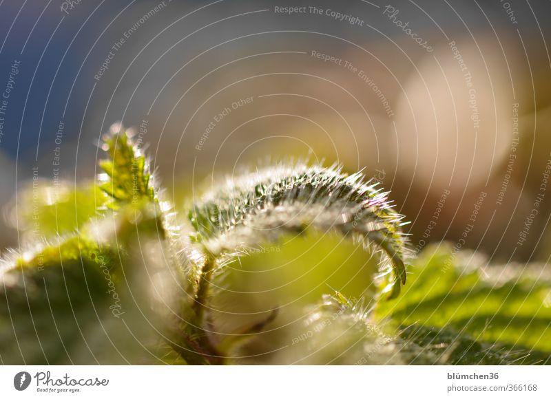 Bitte nicht berühren !!! Pflanze Blatt Nutzpflanze Wildpflanze Brennnessel Brennnesselblatt Heilpflanzen glänzend leuchten Wachstum bedrohlich Gesundheit