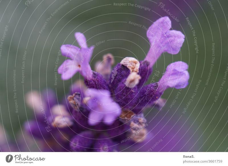 Echter Lavendel Blumen Pflanzen lila violett Lavendelfelder Echter lavendel Lippenblütler Lavendula angustifolia Zierpflanze Duft Heilpflanze Nektarreich