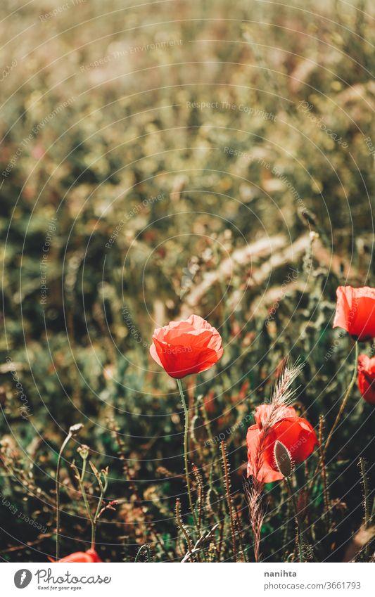 Roter Mohn auf einem Feld im Sommer Blume geblümt Hintergrund Gegenstück Frühling Sonne sonnig warm wunderschön natürlich Natur Blühend Blütezeit blühend rot