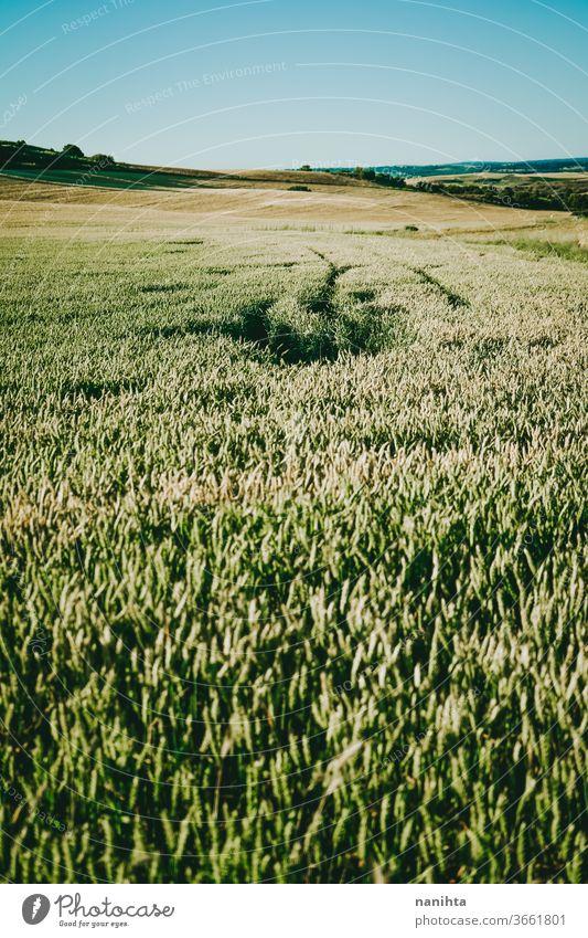 Grünweizenfeld Weizen grün Pflanze Detailaufnahme Feldfrüchte Müsli Bauernhof Biografie organisch gold golden Stunde Sonnenuntergang abschließen Makro