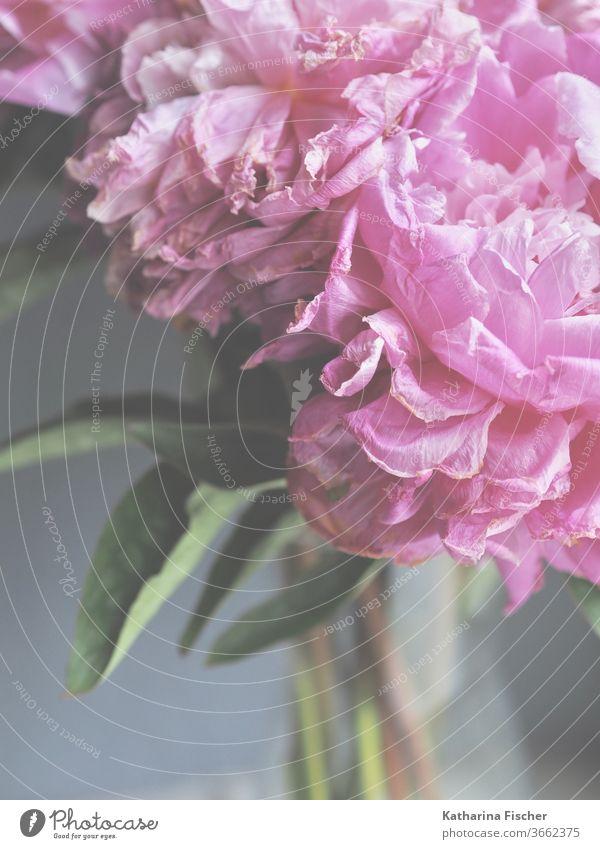 rosarote Pfingstrosen verblassen Blumen bluten Nahaufnahme Natur Farbfoto Detailaufnahme Sommer Frühling Blühend Duft Blütenblatt Tag bereits Innenaufnahme