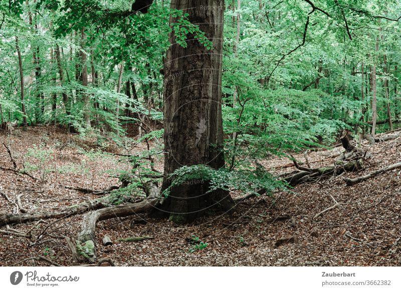 Stamm einer großen Buche im Wald auf Laubboden Baum Waldboden grün Walden Zweige Äste Natur Erholung durchatmen Entspannung Ruhe Blatt Tag Baumstamm Buchenwald