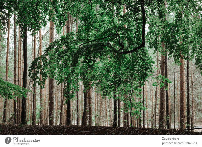 Großer Ast einer Buche vor Stämmen von Kiefern im Wald Baum Stamm grün baun erhaben Natur Ruhe Erholung durchatmen