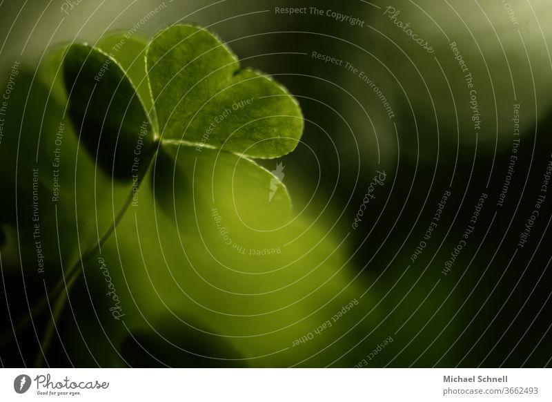 Makroaufnahme einer Kleeblattpflanze Glück grün Pflanze Farbfoto Natur Glücksbringer Detailaufnahme Schwache Tiefenschärfe Sommer Grünpflanze