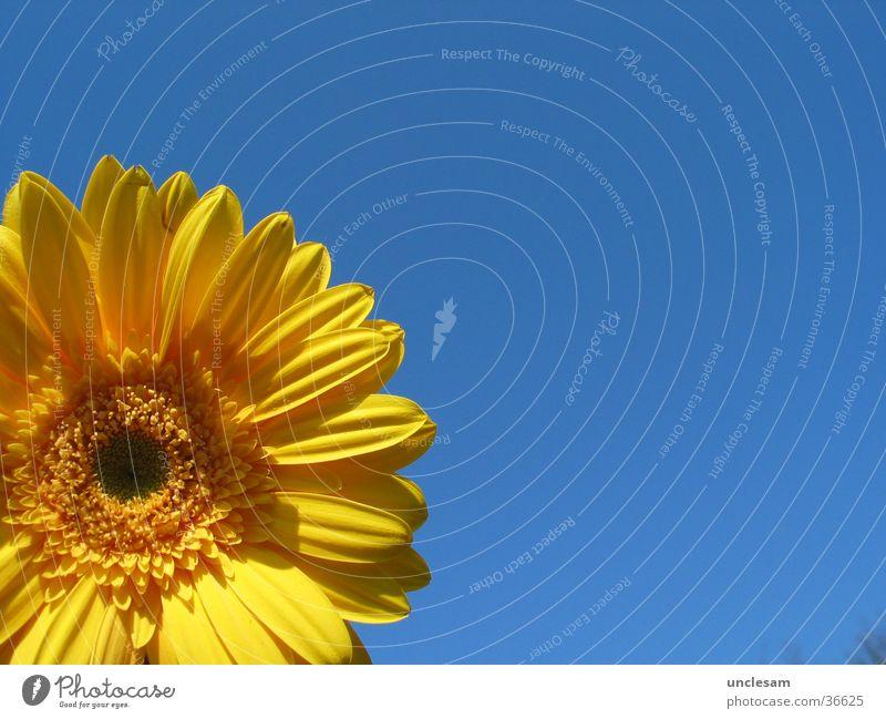 Yellow Flower Himmel Sonne Blume blau Sommer gelb Sonnenblume Gerbera