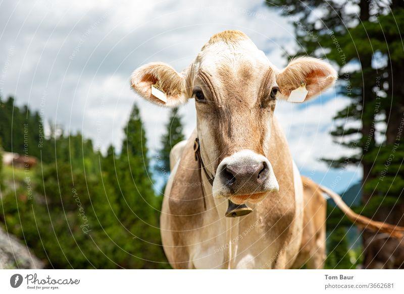 Portraitaifnahme einer braune Kuh in dem Bergen mit ein Kuhglocke um den Hals im Hintergrund sind Nadelbäume der blaue Himmel mir schonen weissen Wolken kuh