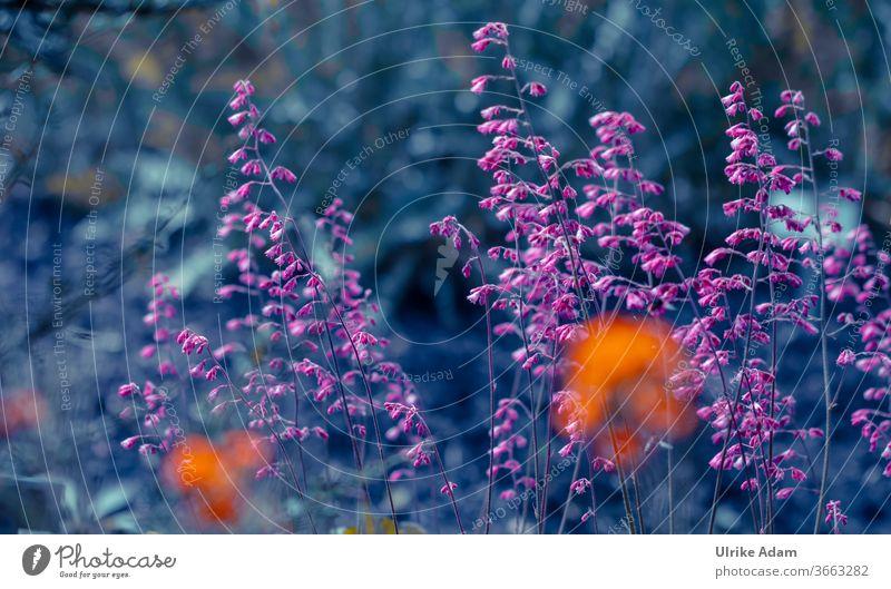 Zarte pinke Blüten des Purpurglöckchens (Heuchera) Purpurne Glocken haychera Blumen blüht filigran Blühend Pflanze Natur Sommer Garten natürlich Farbfoto hübsch